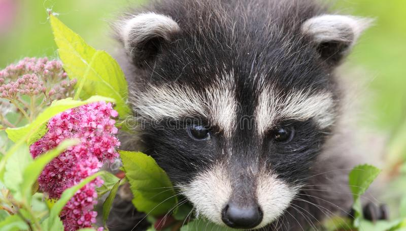 Baby raccoon royalty free stock image