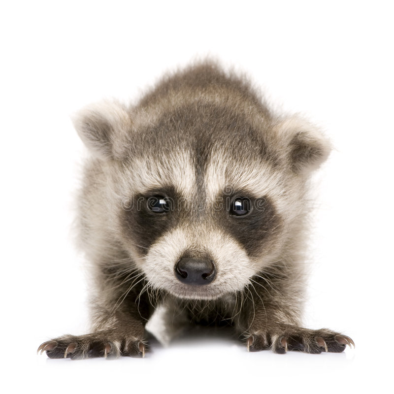 Free Baby Raccoon (6 Weeks) - Procyon Lotor Royalty Free Stock Images - 5540739