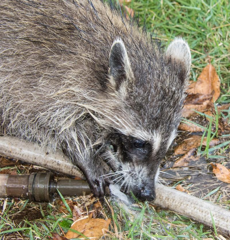 A baby raccoon playing with a garden hose. stock photography