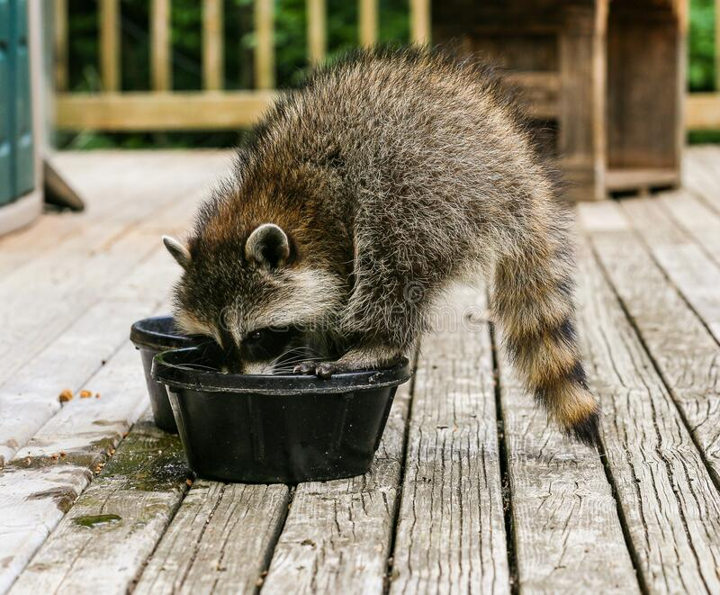 Baby raccoon having a drink of water. stock photography