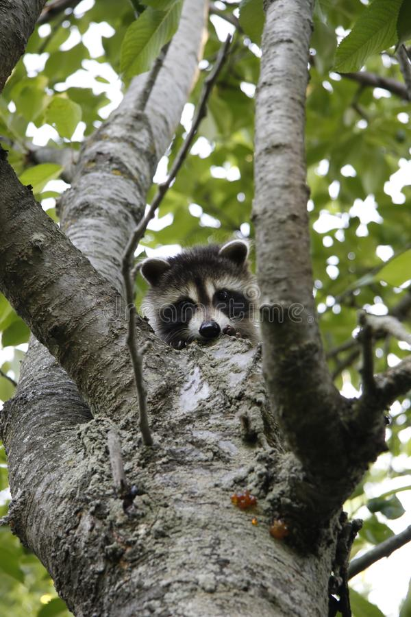 Baby raccoon hiding in cherry tree stock photo