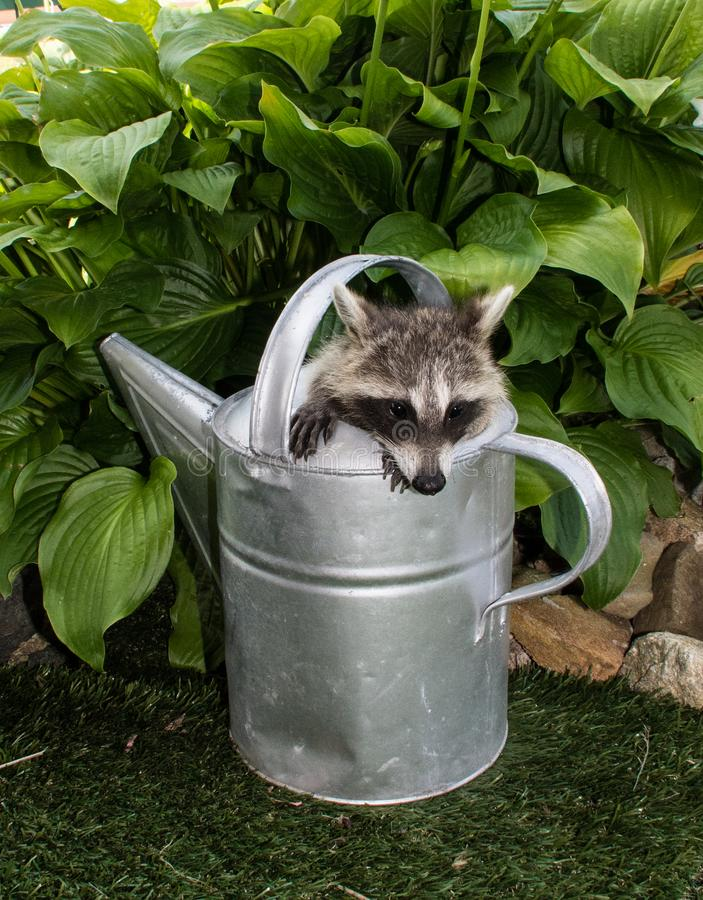 A baby raccoon looking out of a watering can. royalty free stock images