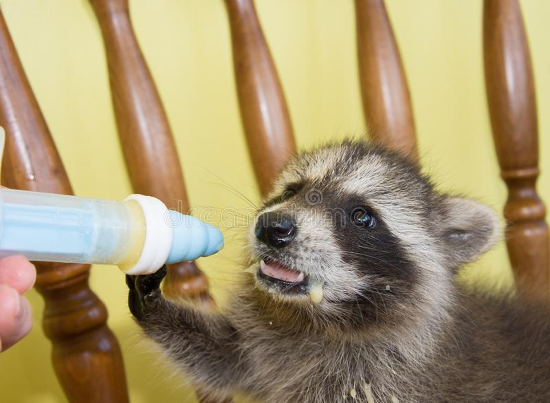 A baby raccoon milk pushing away a milk filled syringe. stock photo