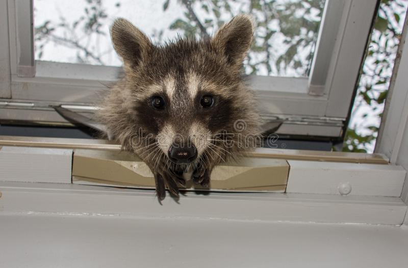 A curious baby raccoon peeking in a skylight window. royalty free stock images