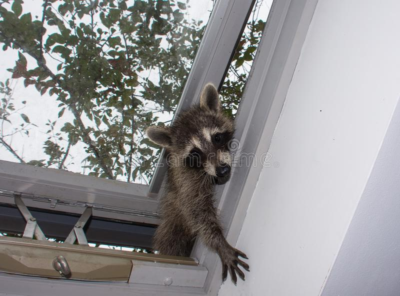 A baby raccoon reaching in through a skylight. stock image