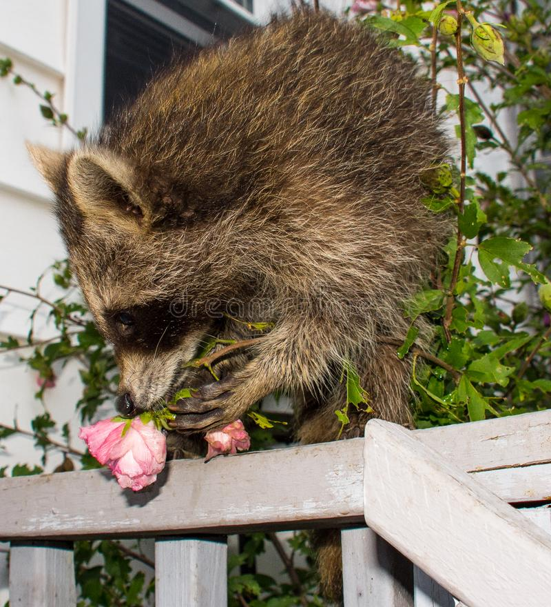 A baby raccoon smelling a pink flower on a railing. royalty free stock images