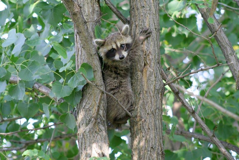Baby Raccoon Between Tree Trunks royalty free stock image