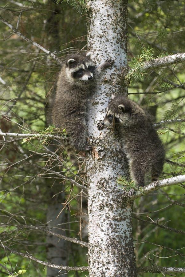Baby raccoons royalty free stock photo
