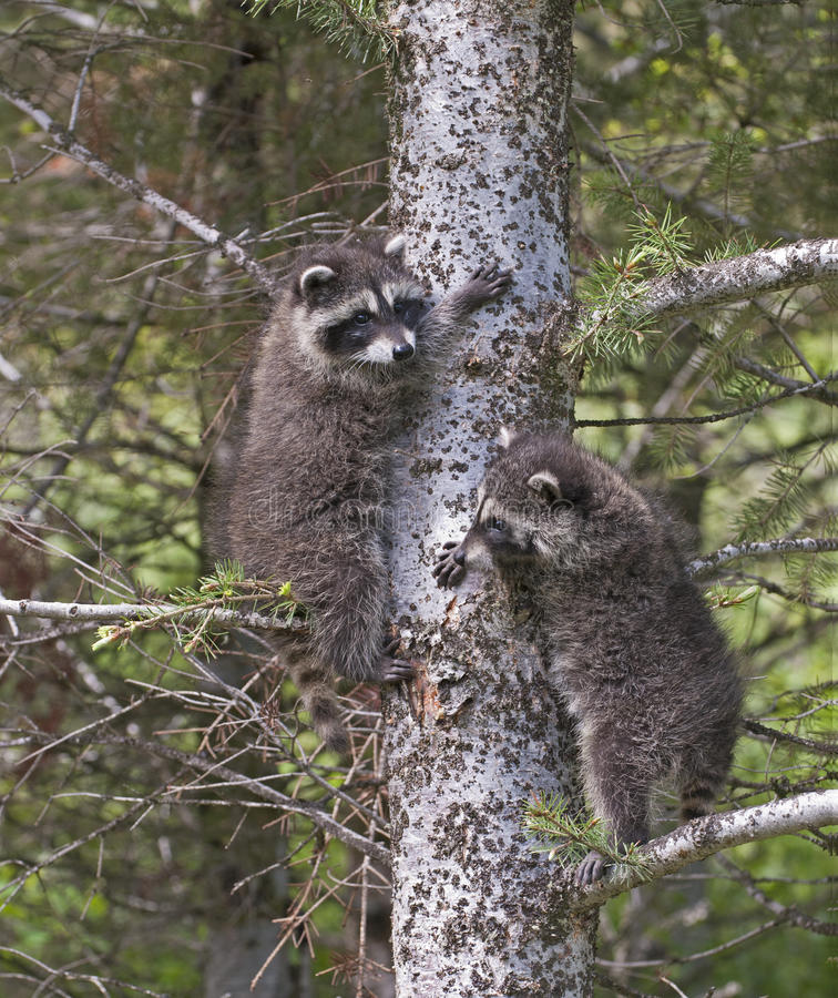 Download Baby Raccoons Climbing Tree Stock Photo - Image: 16193548