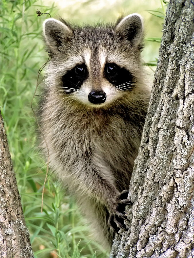 Baby Racoon royalty free stock photo