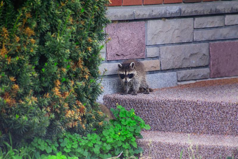 Baby racoon on porch stock photo