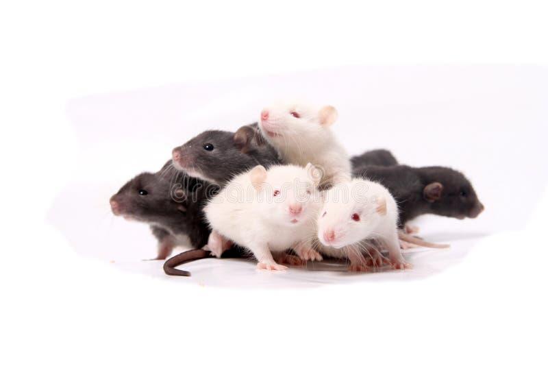 Baby rats climbing on eachother stock photos