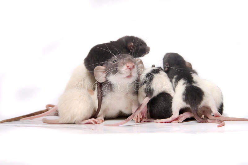 Baby rats climbing on mom rat royalty free stock image