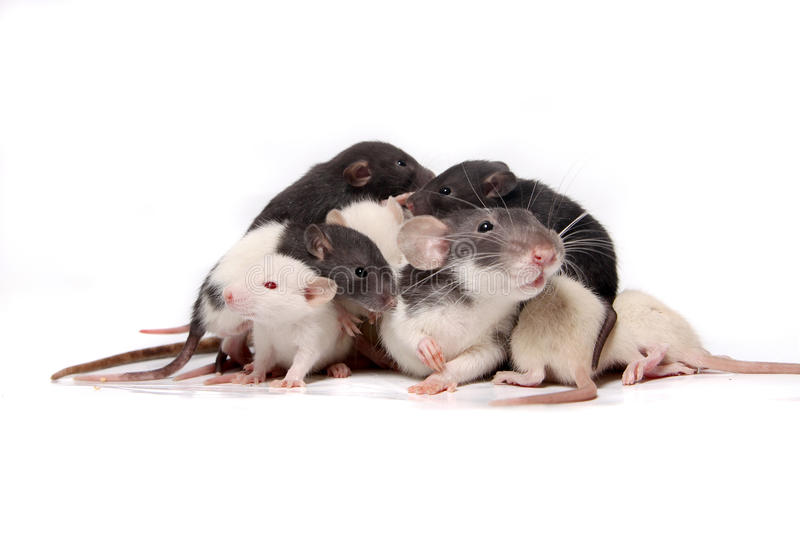 Baby rats climbing on mother rat royalty free stock photography
