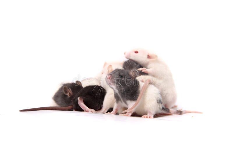 Baby rats crawling on mother rat royalty free stock photos