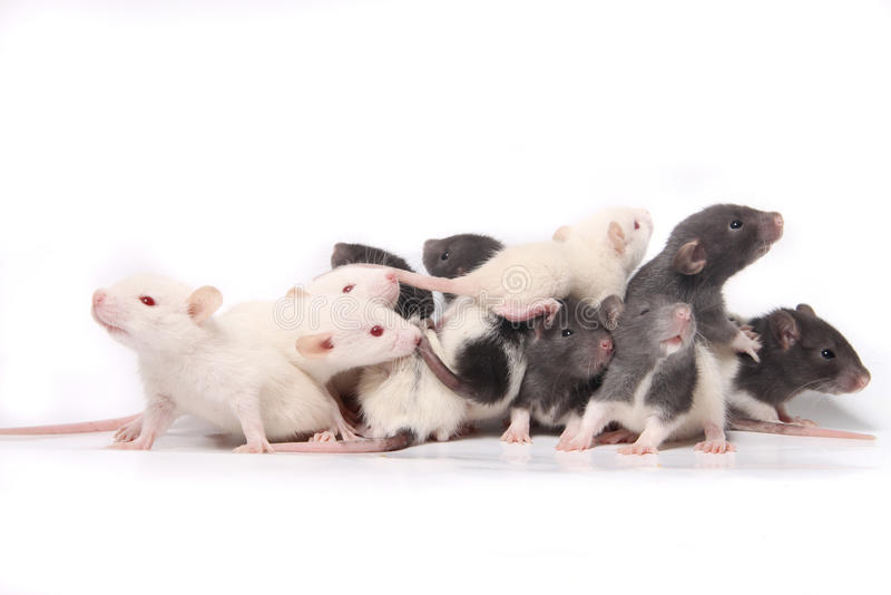 Baby rats royalty free stock images