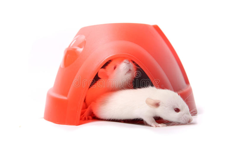 Baby rats in a plastic dome stock image