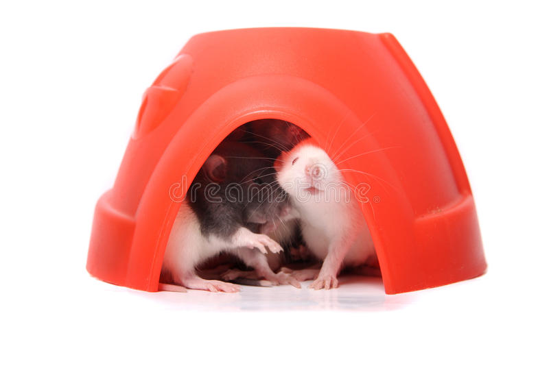 Baby rats in a plastic dome royalty free stock images
