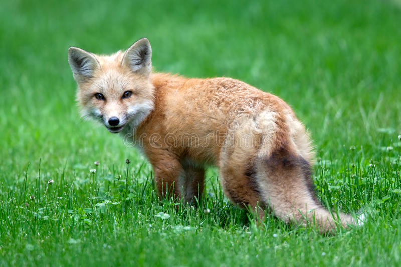 Baby Red Fox royalty free stock photo