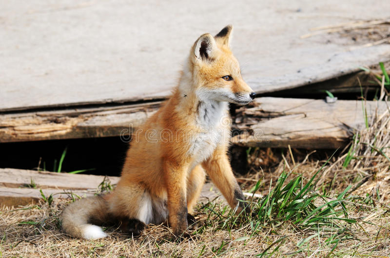 Download Baby Red Fox Kit near den stock photo. Image of animals - 16893212