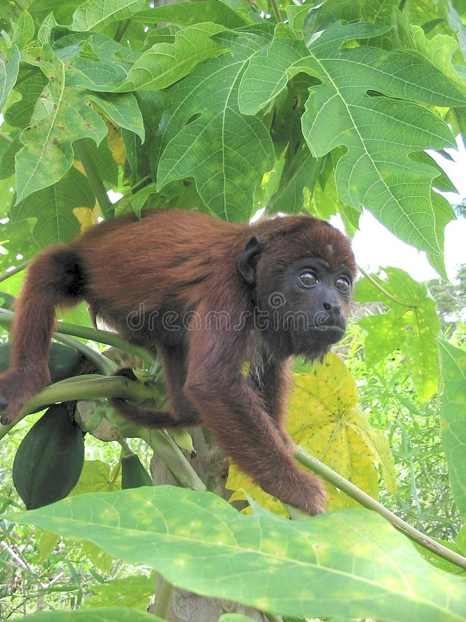 Download Baby Red Howler Monkey stock image. Image of brown, alouatta - 8915175