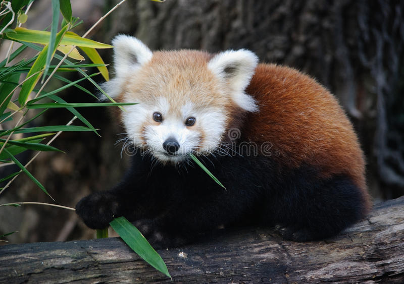 Baby red panda. With a bamboo royalty free stock photos