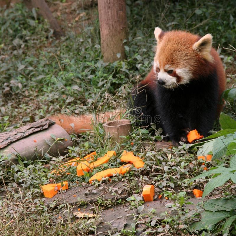 Baby red panda eyeing the pumpkin pieces at Chengdu Zoo in Sichuan, China. stock photos