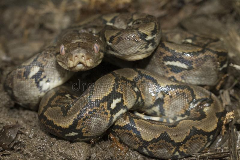Baby Reticulated Python Python reticulatus royalty free stock photos