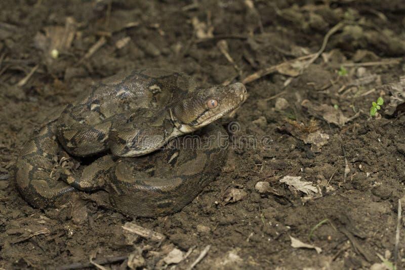 Baby Reticulated Python Python reticulatus stock photos