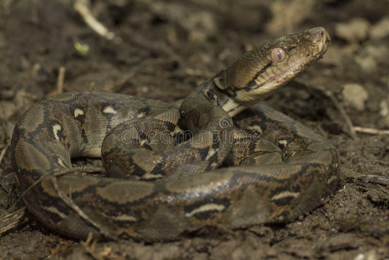 Baby Reticulated Python Python reticulatus stock image