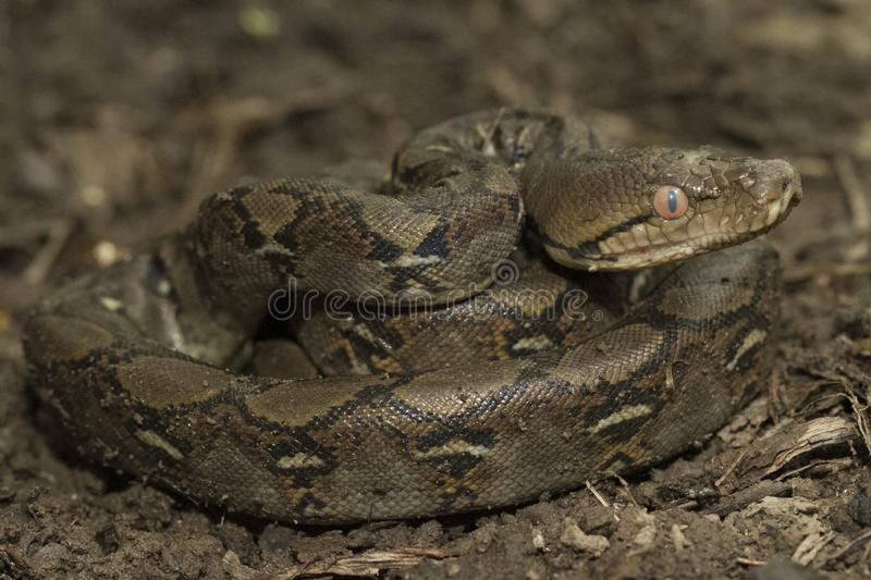 Baby Reticulated Python Python reticulatus stock photo