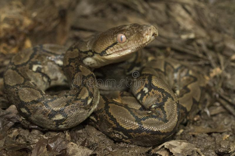 Baby Reticulated Python Python reticulatus stock photography