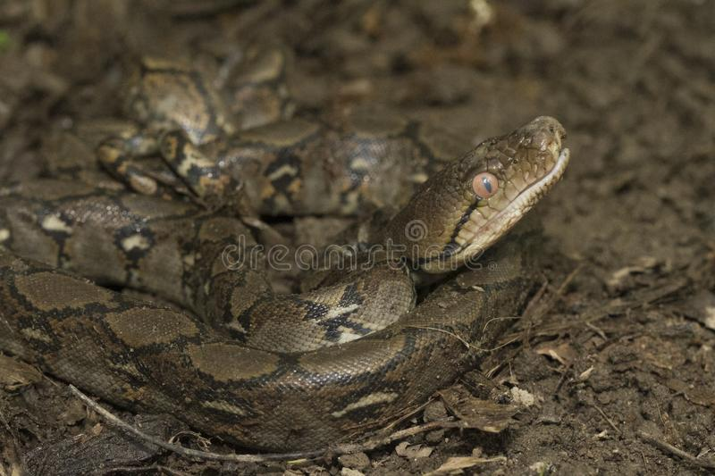 Baby Reticulated Python Python reticulatus stock images