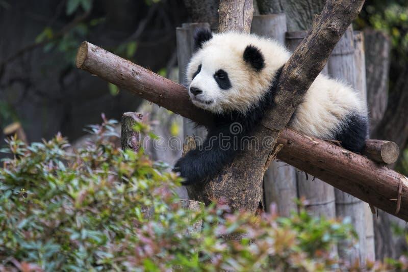 Baby Reuzepanda die in een boom Chengdu, China rusten royalty-vrije stock fotografie