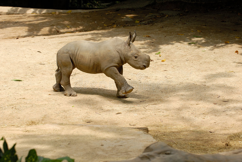 Baby rhino. A baby rhino is playing down the ground stock image