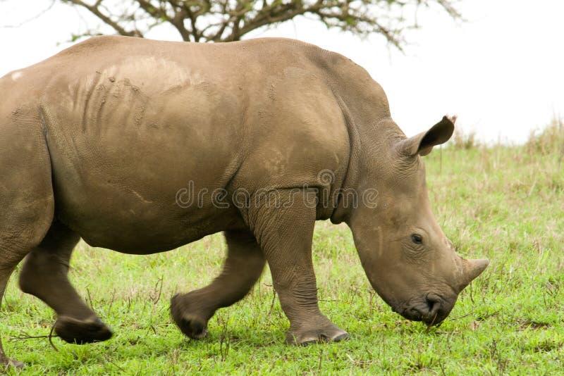 Baby rhino. A small baby african black rhino stock photo