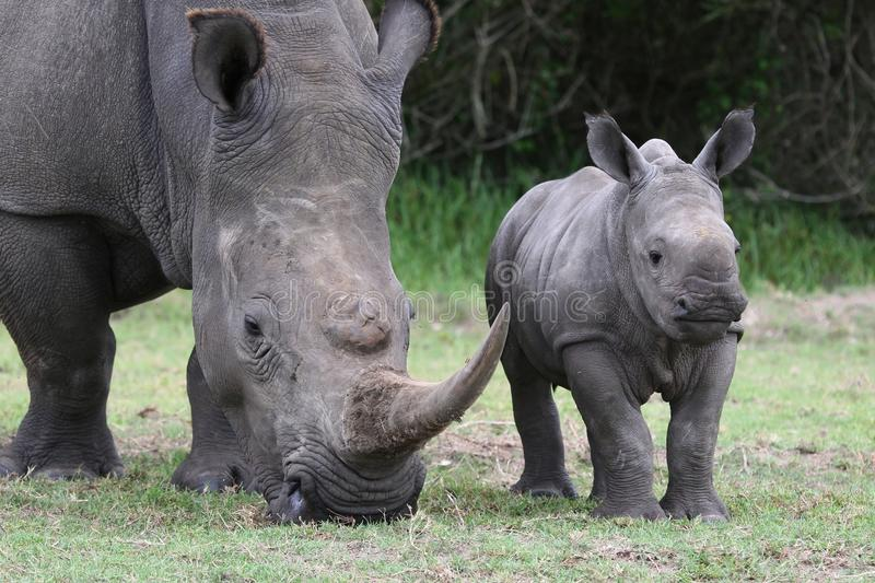 Baby Rhino and Mother. Cute baby White Rhino standing next to it's mother with large horn stock photos
