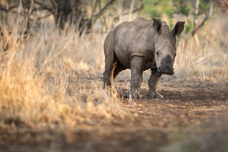 Baby rhino with mother royalty free stock images