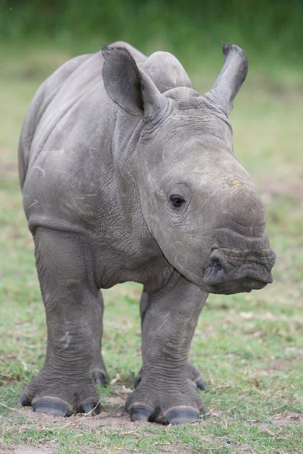 Download Baby Rhinoceros stock image. Image of five, dangerous - 18734811