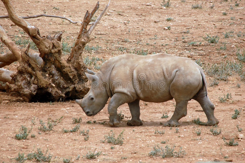 Download Baby Rhinoceros stock image. Image of africa, white, hide - 460589