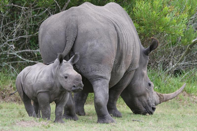 Download Baby Rhinoceros and Mom stock image. Image of fauna, game - 18746239