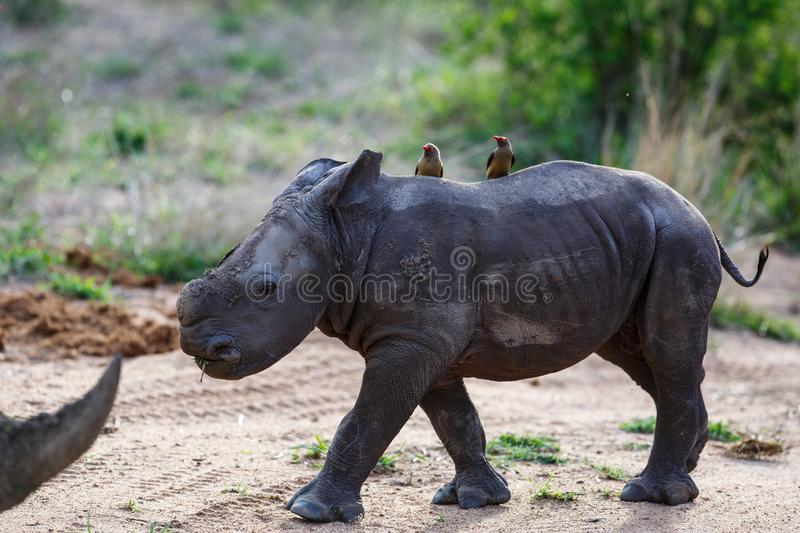 Baby rhinoceros with oxpecker royalty free stock images
