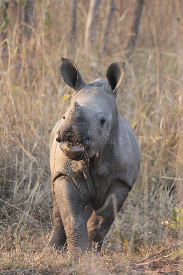 Baby rhinoceros royalty free stock photo
