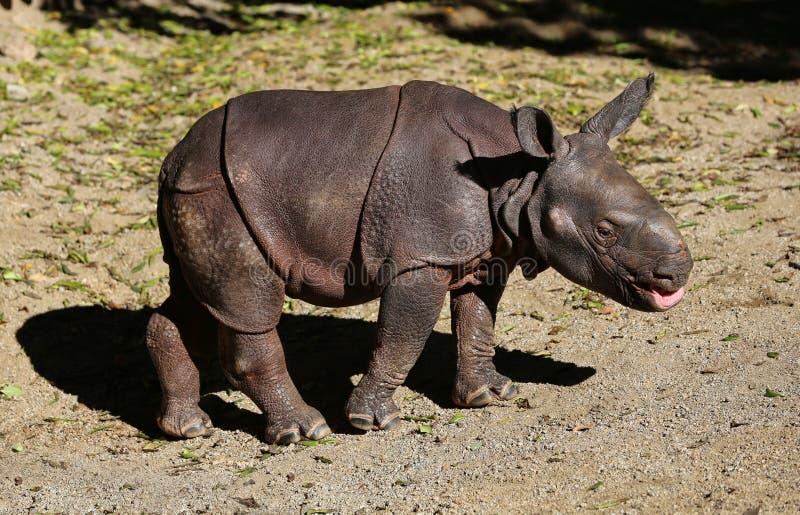 Baby Rhinoceros stock photography