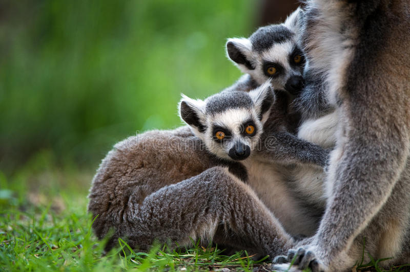 Baby Ring Tailed Lemur lizenzfreie stockfotos