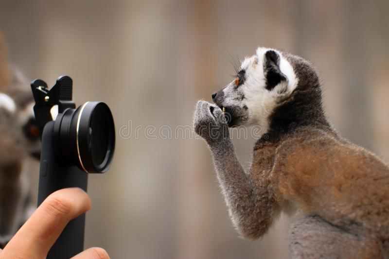 Baby ring-tailed lemur with camera. Photo from animal world. Funny child monkey stock photos