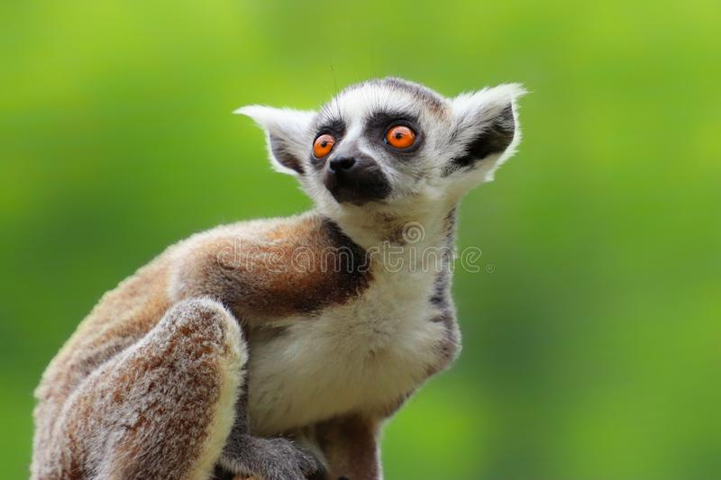 Baby ring-tailed lemur stock image