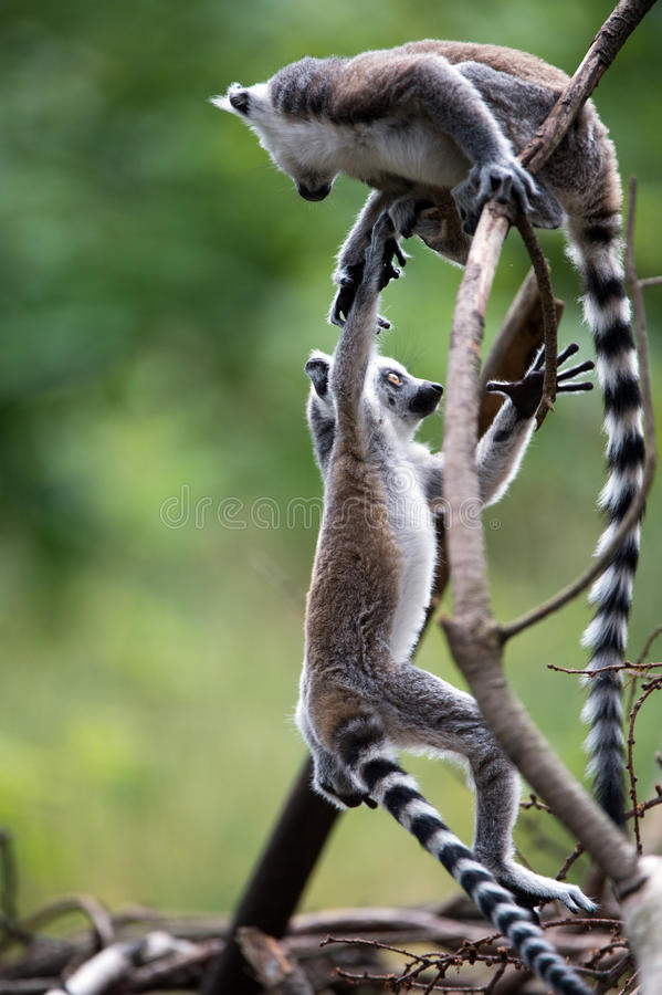 Baby Ring Tailed Lemurs royalty free stock photo