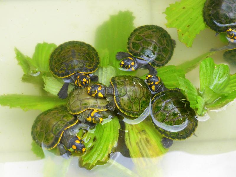 Baby river turtles eating water lettuce royalty free stock photography