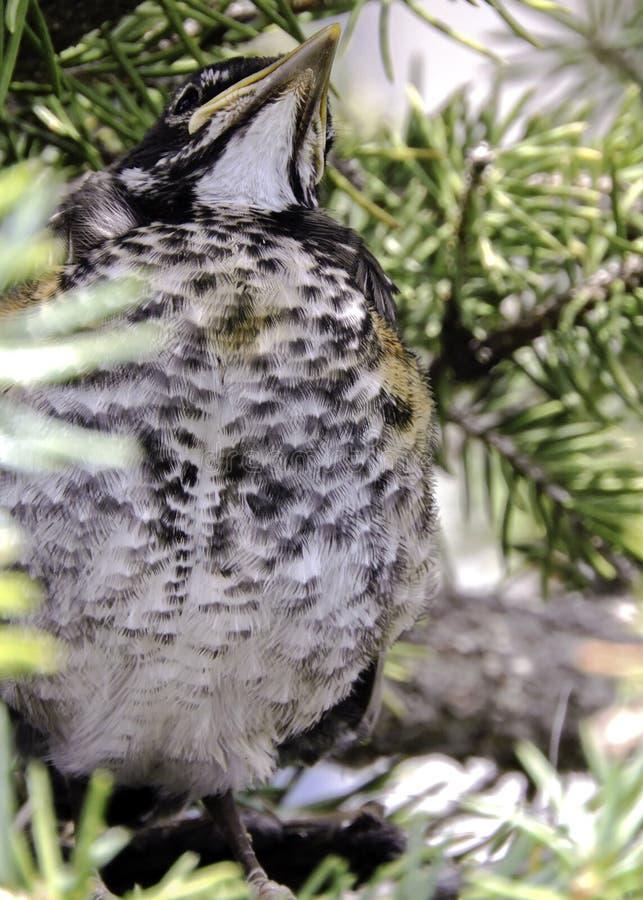 Baby Robin in einem Nest stockbild